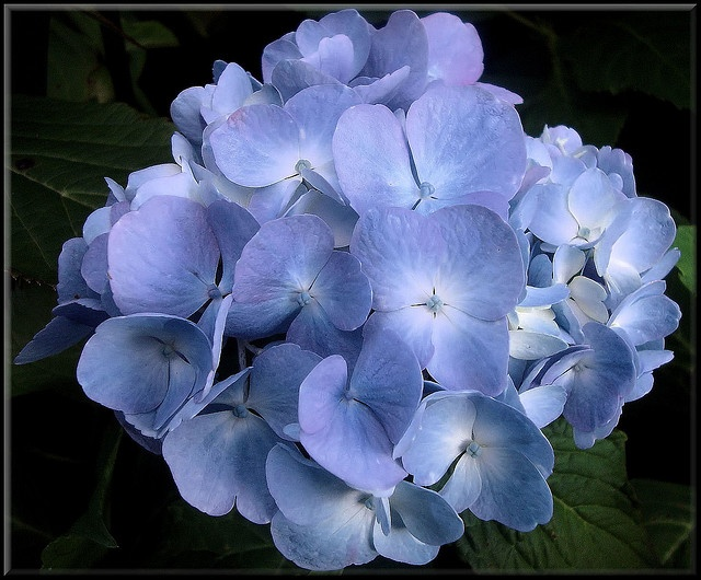 Blue flowers- would be so cute mixed with some white ones in a pink vase!