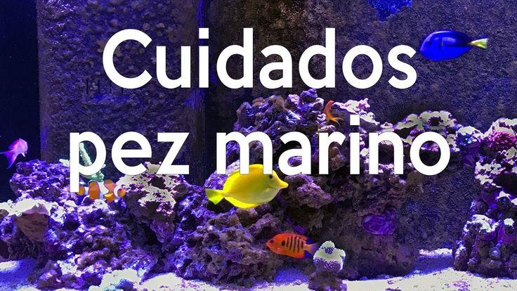 #acuario #acuarioMarino #pecera #peceraMarina #AcuaTV #reefing #reef #pezmarino Aquí les comparto los cuidados básicos de un pez de agua salada, su alimentac...