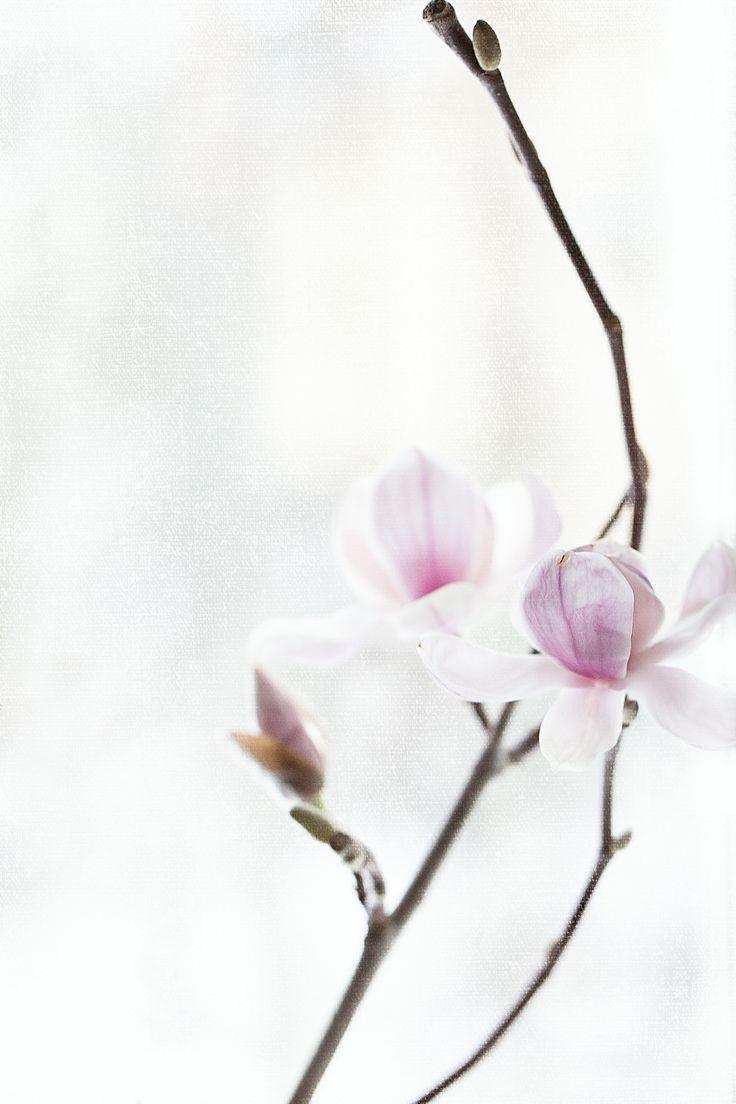 Magnolia  I  Petra Veikkola Photography   www.petraveikkola.com#magnolia #softcolors #softnature