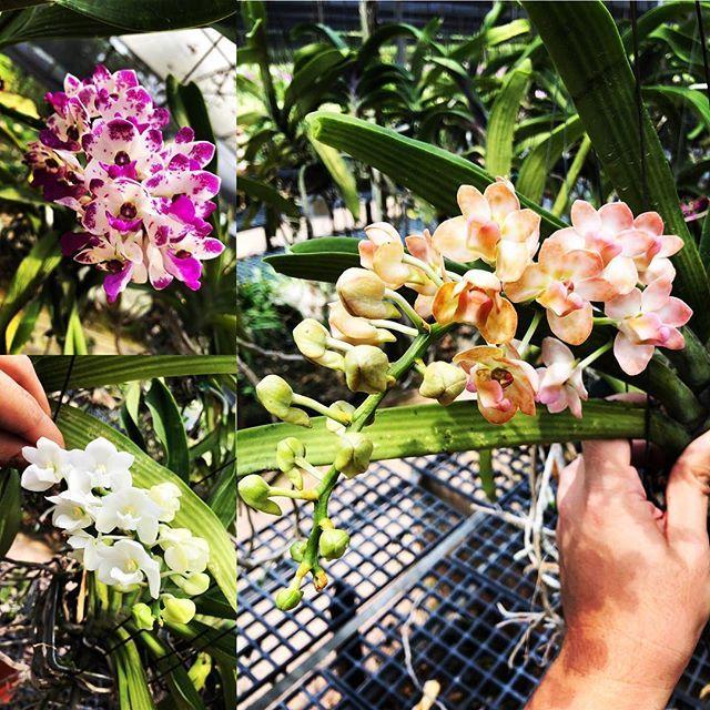 Fragrant Rhynchostylis Gigantea In Bloom Tohgarden Singapore Tropical Farm Rhychostylis Celebration Orchid Orchids Orchids Orchids Garden Orchid Flower