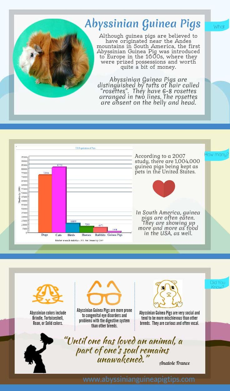 48 best guinea pig care images on pinterest guinea pig care abyssinian guinea pig info at a glance infographic ccuart Gallery