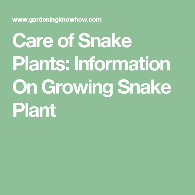 Care of Snake Plants: Information On Growing Snake Plant