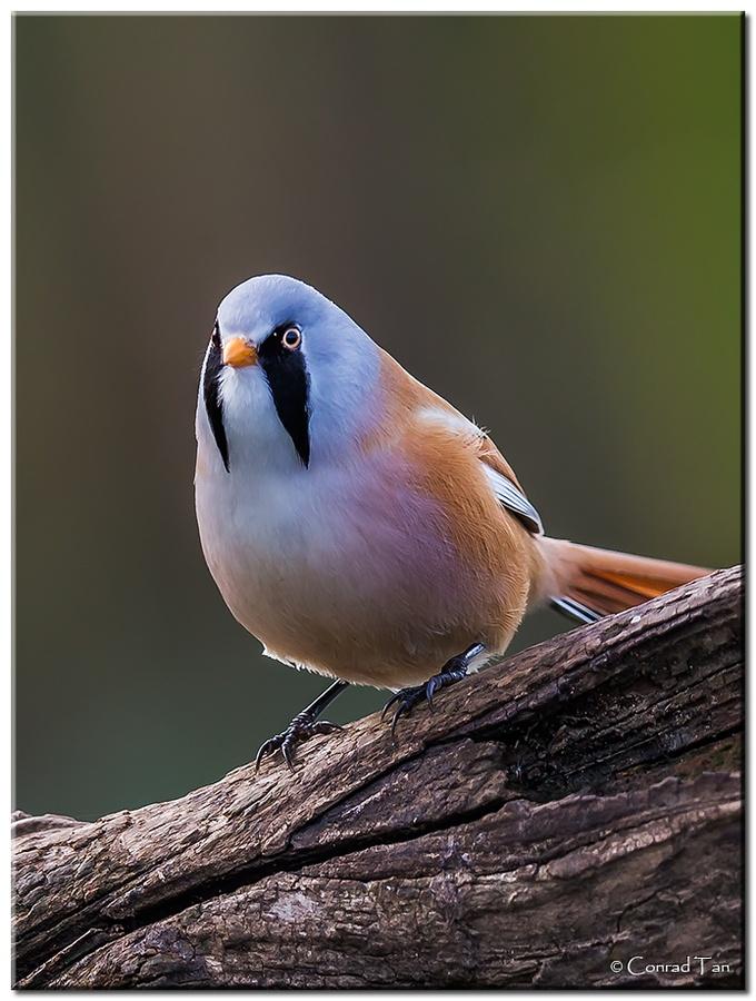 Bearded Tit (Panurus biarmicus)