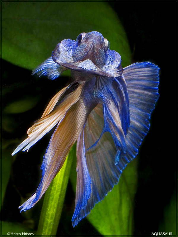 17 best images about siamese fighting fish on pinterest for Fighting betta fish
