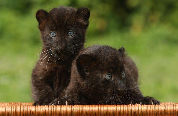 6 weeks old panther cubs.