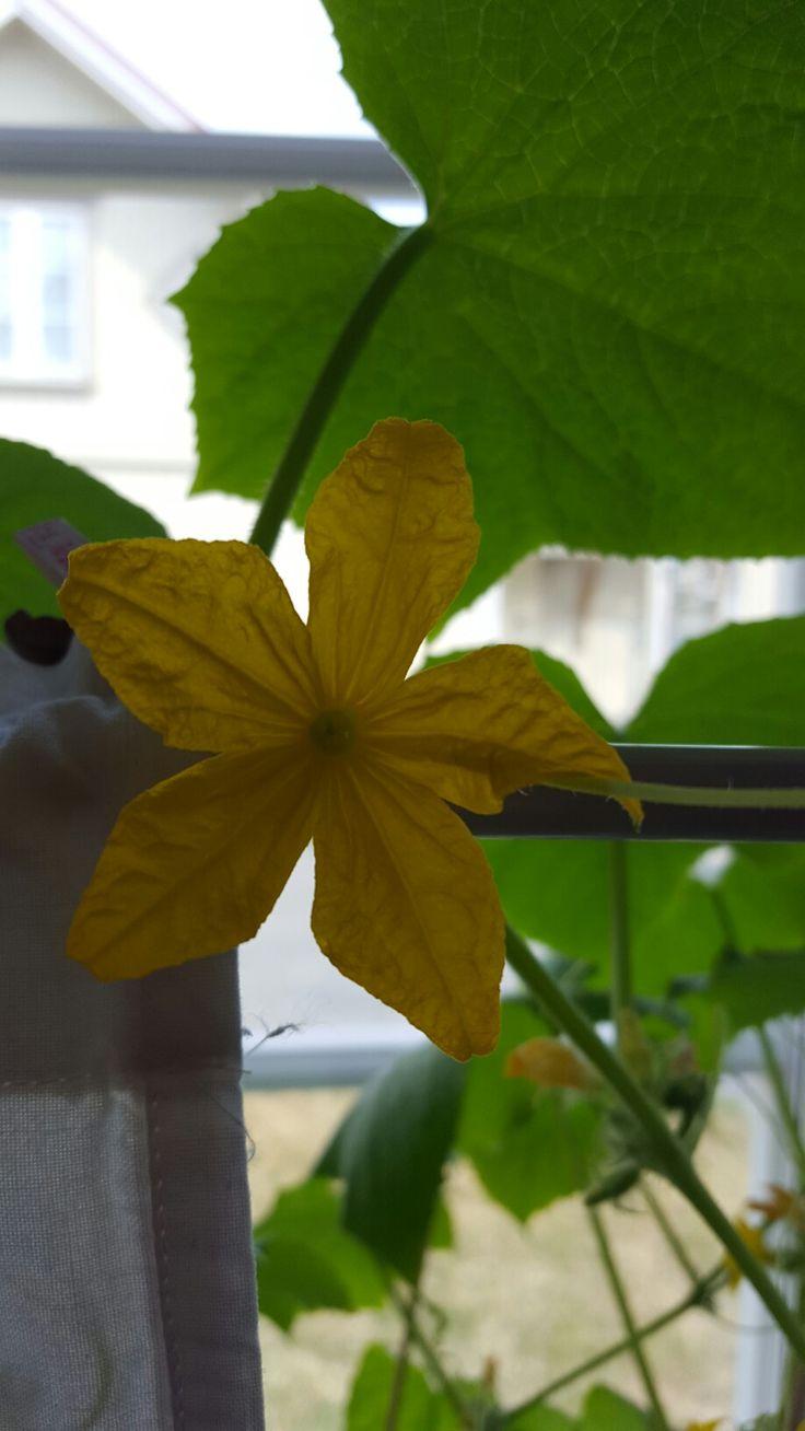 Agurk blomst dyrke selv