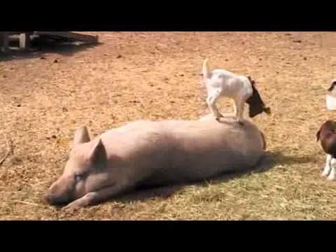 Hyper Baby Goats Compilation !!!    Watch mORe Funny Pet and Animal viDEOs http://yourpetclip.com