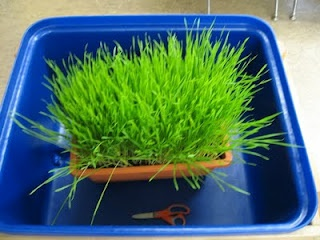 Children cut this thick, aromatic wheat grass with scissors - great for fine motor skills, finger strengthening...