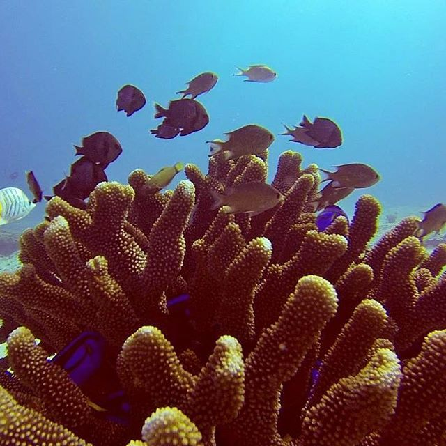 Finding Dory in Borneo:) #airbuddy #kickstarter #earlybird #specialoffer #divingeasier #diving >>>>>>>>#water_of_our_world #lifeisrealgood #aroundtheworldpix #saltnomands #underwater_world_ #thisismyparadise #underwaterphoto #pictoftheday #instagram #underwater #campaign #crowfunding #seaworld #snorkeling #gopro #hookahdiving