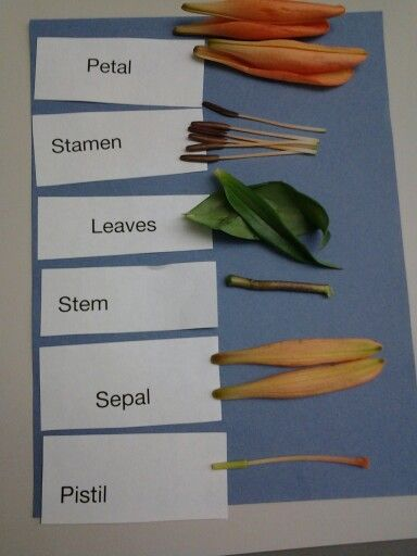Classroom Ideas For Earth Day ~ Cool flower dissection for elementary students my