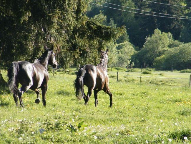 kone na salaši