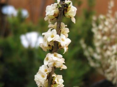 Wawrzynek wilczełyko forma biała - Krzewy liściaste - Baza roślin - rosliny.urzadzamy.pl