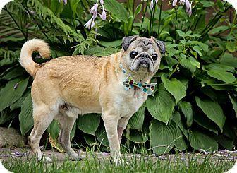Bristol, CT - Pug Mix. Meet Theodore, a dog for adoption. http://www.adoptapet.com/pet/16621282-bristol-connecticut-pug-mix