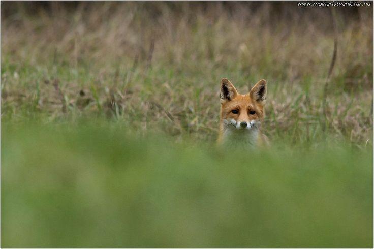 szimatoló vörös róka