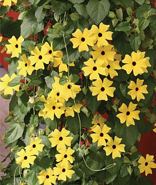 """Thunbergia- Black-eyed Susan Vine... """"Slender, trailing black-eyed susan vines with dark, finely etched eyes peeking out of star-shaped 1 blooms in shades of orange, yellow and white. Hundreds of 1½ blooms. Naturally vining, perfect for hanging baskets, trellis or arbor."""""""