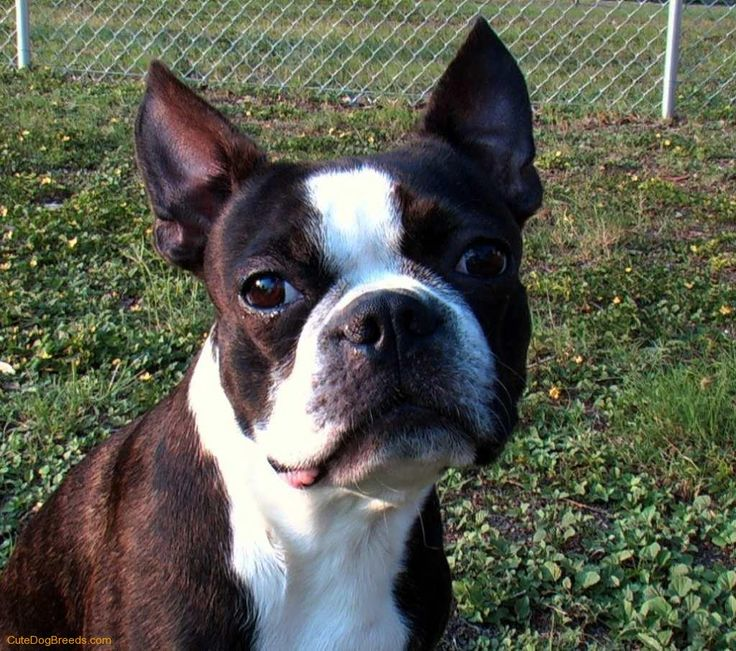 boston terrier - looks just like my monster