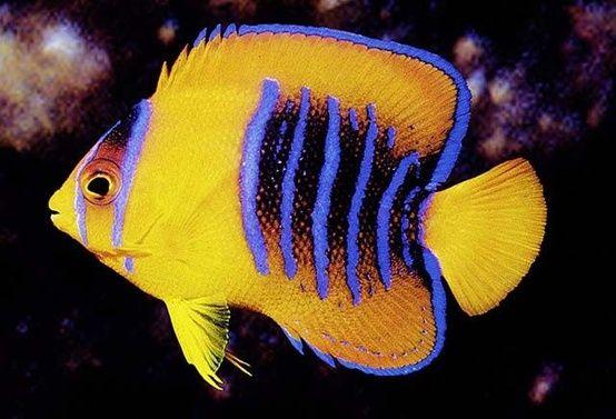 Clarion Angelfish (Holacanthus clarionensis) juvenile