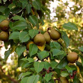 Pear 'Ure'