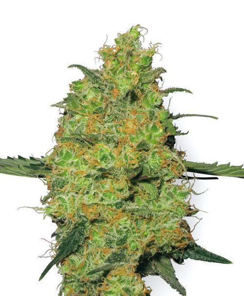 master kush weed seeds