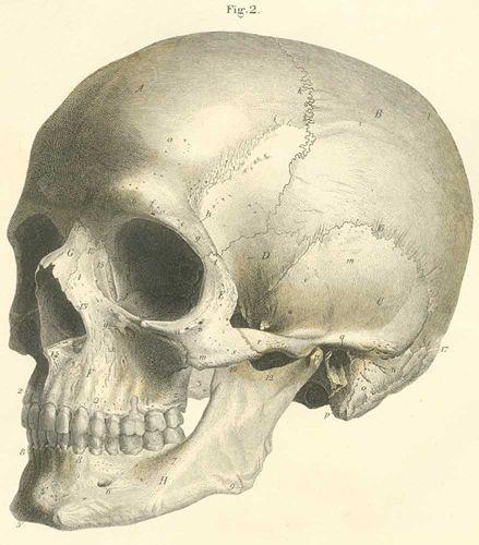#crâne humain Où acheter tête de mort ?Conseils achat #vectanim