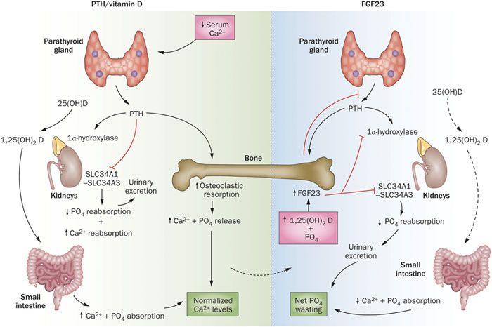 Szlakami witaminy D - Artykuły - Biotechnologia.pl - łączymy wszystkie strony biobiznesu