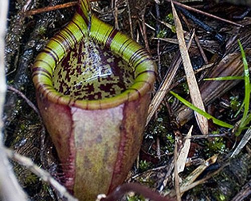 """Attenborough's Pitcher, which is known in scientific circles as Nepenthes attenboroughii, is a large plant endemic to the island of Palawan in the Philippines. It's another species that was discovered at the same time it was found to be critically endangered. The plant's name honors naturalist Sir David Attenborough. The football-sized bell at its base traps and digests insects and even small mammals, bringing to mind the giant carniverous plant Audrey from """"Little Shop of Horrors."""""""