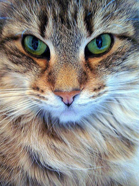 Beautiful green-eyed cat <3