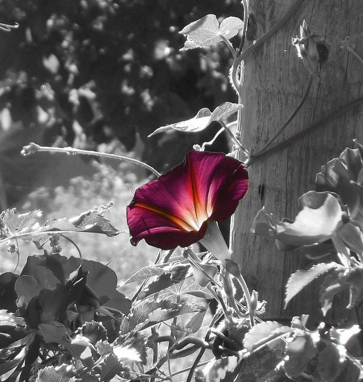A Single Flower Color splash photo, Color splash