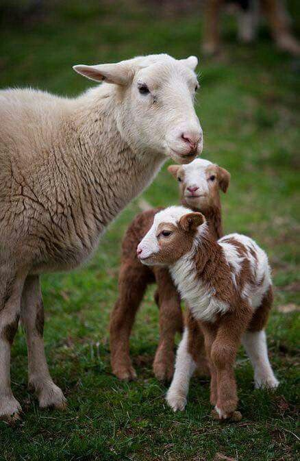 Barnyard Critters ~ mother sheep with baby lambs