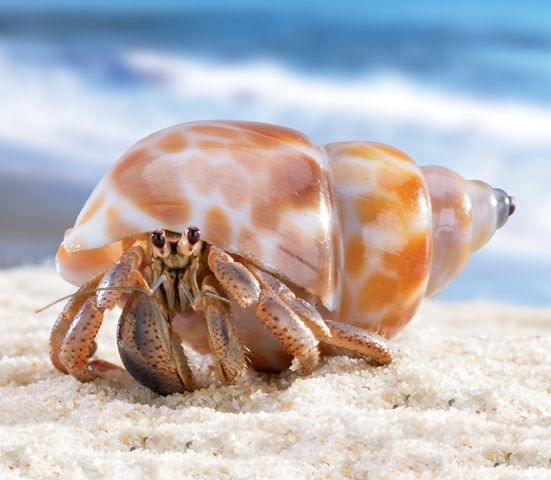true wild life hermit crab the hermit crab is a small sized crustacean ...
