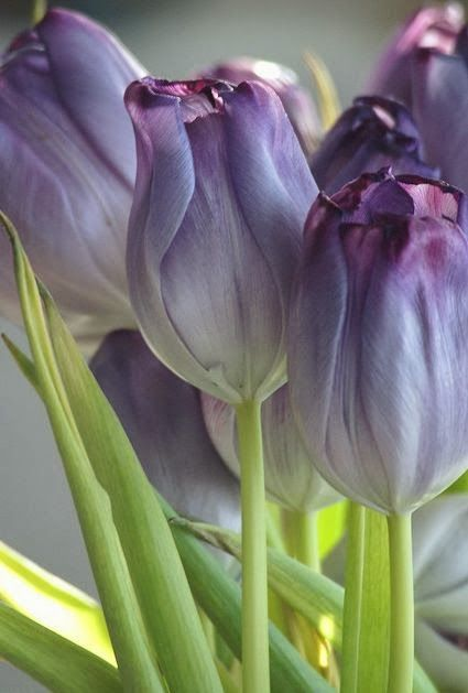 ✯ Purple tulips