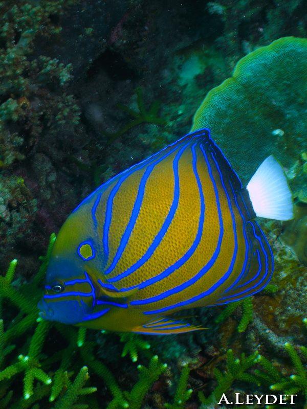 La plongée sous-marine en Malaisie est fantastique ! Avez-vous déjà plongé aux îles Perhentians ? Ici un superbe poisson ange. Scuba diving in Malaysia is just fantastic ! Did you ever dive in Perhentian's islands ? Here, a superb angelfish.