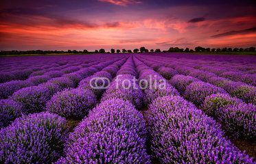 Stunning landscape with lavender field at sunset