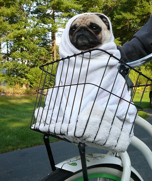 Pug as E.T....@Erica Espinoza, you have to get a bike with a basket just so you can take The Squeeze as E.T. next year for Halloween!