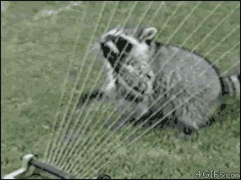 Raccoon harp sprinkler .gif