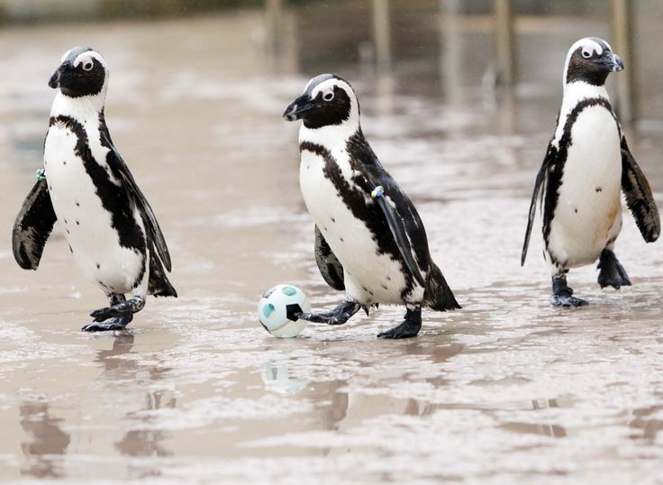 Cute Animals Playing Soccer Wallpaper 12 Best Penguin Football Images On Pinterest Penguin