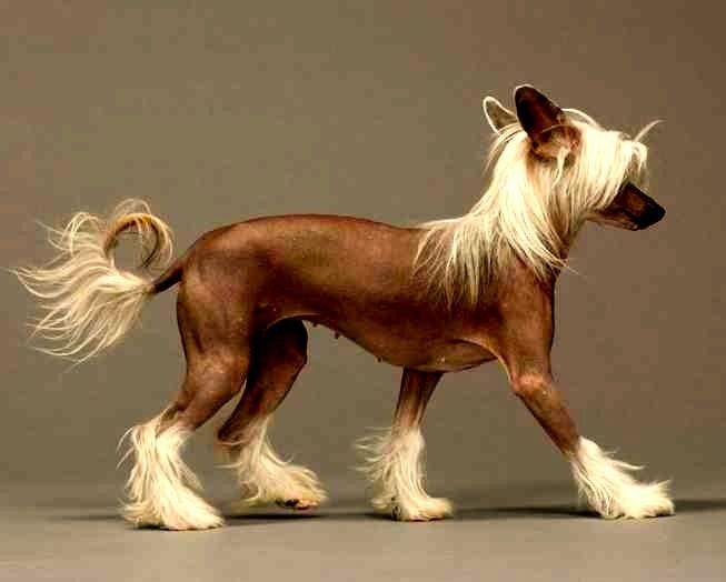 Perro Crestado Chino sin pelo, carácter y cuidados.