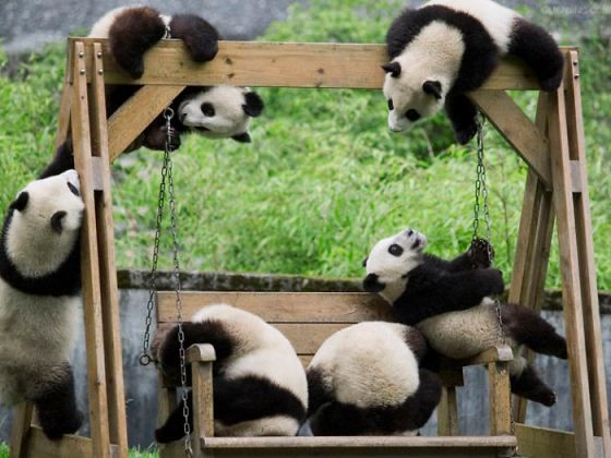 Is this how this works? Baby pandas playing at China's Chengdu Research Base of Giant Panda Breeding.