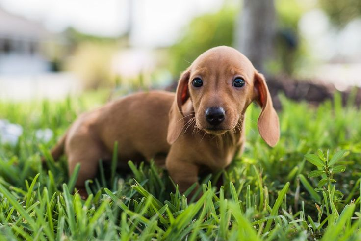 Male Akc Mini Dachshund Puppy For Sale In Fort Lauderdale Florida
