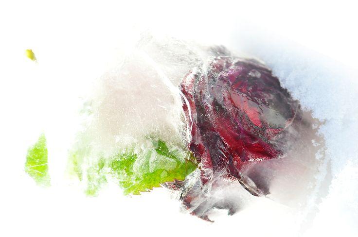 Blumen in Eis, gefroren