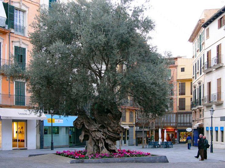 Der älteste Olivenbaum von Palma de Mallorca - Plaza de Cort
