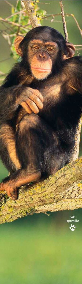 Chimpanzee (Pan troglodytes) Status: Endangered