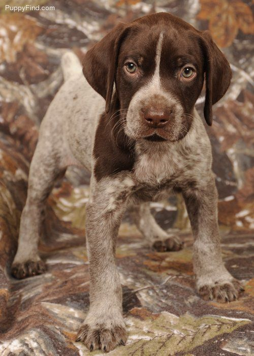 german shorthaired pointer - maybe I will have one of these someday