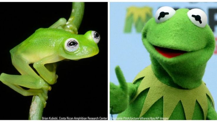 Kermit_CREDIT2.jpg http://www.foxnews.com/science/2015/04/20/newly-discovered-costa-rican-glassfrog-species-is-kermit-look-alike/