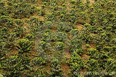 Coffee fields. Colombia. Coffee beans are a major part of Colombia's economy and they export them