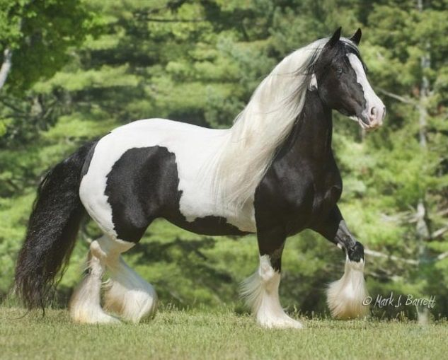 Summer Rose Gypsy Vanner mare #GypsyVannerHorses