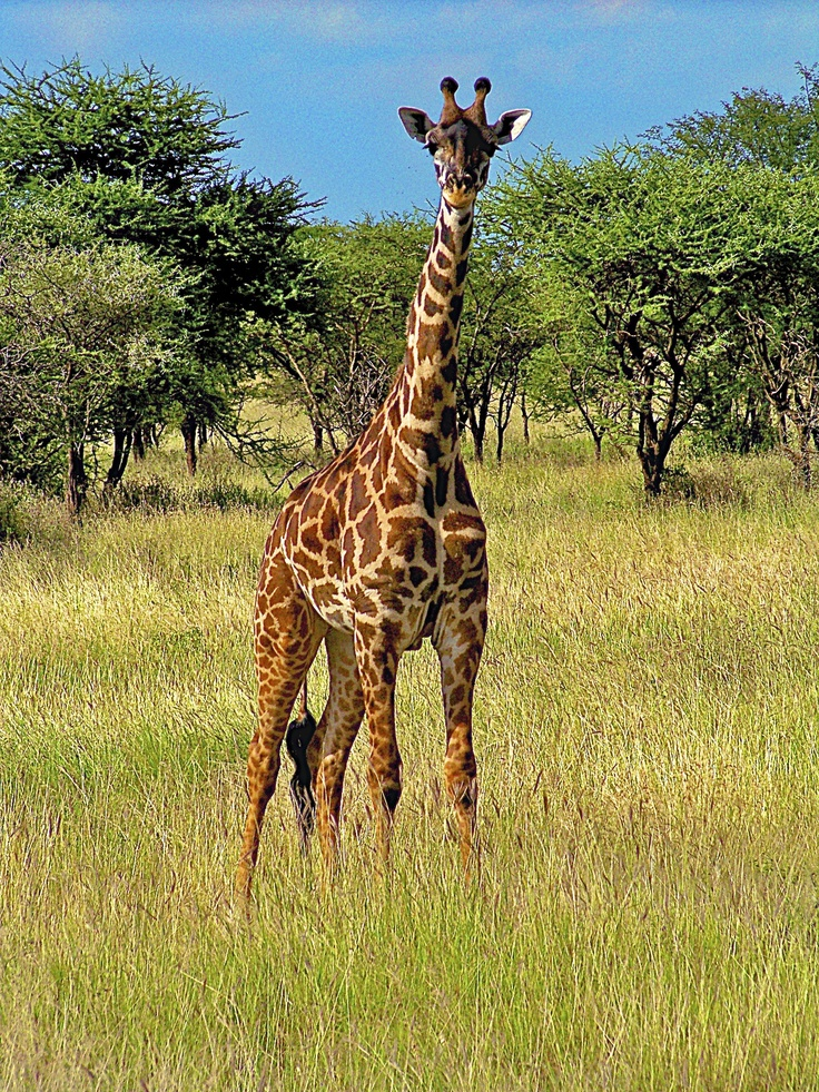 дивись, картинка найдите жирафа растерялась подала суд