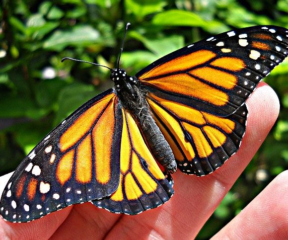 Breathe some life into your backyard by turning it into a haven for butterflies with the monarch butterfly habitat kit. The kit comes with everything you'll need to plant milkweed - the only plant that supports monarch butterflies - and help out a struggling species.