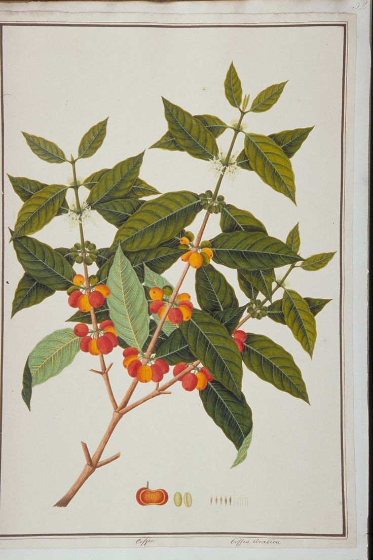 Coffee, William Farquhar Collection of Natural History Drawings, Early 19th century, Watercolour on Paper, Collection of National Museum of Singapore, Gift of Mr. G. K. Goh.