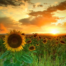 awesome!: Picture, Nature, Sunflowers, Sunset, Beautiful, Sun Flower, Sunflower Fields, Photo, Favorite Flower